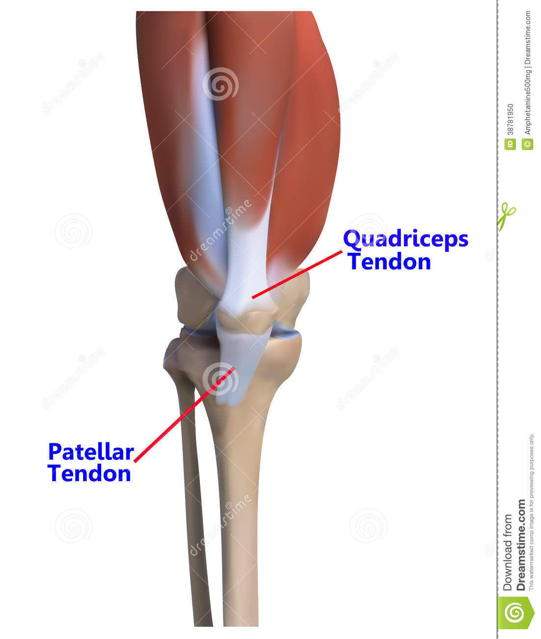The Knee Bone And Ligaments Stock Illustration Illustration Of