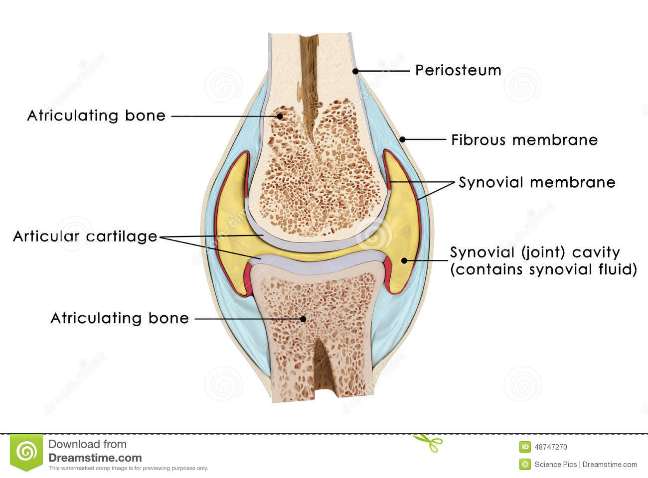 Knee bursae stock illustration illustration of kneecap 48747270 knee bursae ccuart Image collections