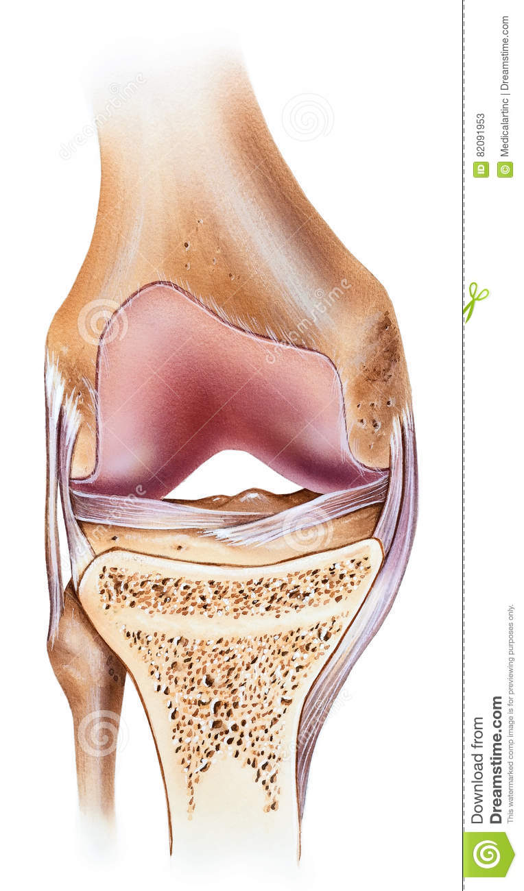 Knee - Cutaway stock illustration. Illustration of capsular - 82091953