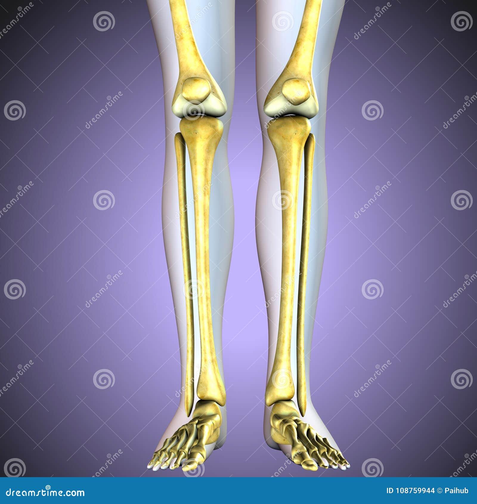 3d Illustration Human Knee Bones Skeletal System Stock Illustration