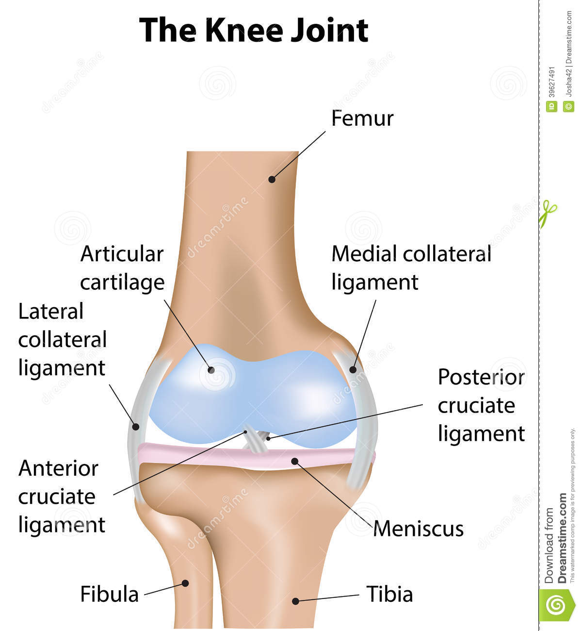 Knee Joint Labeled Diagram Stock Vector  Illustration Of