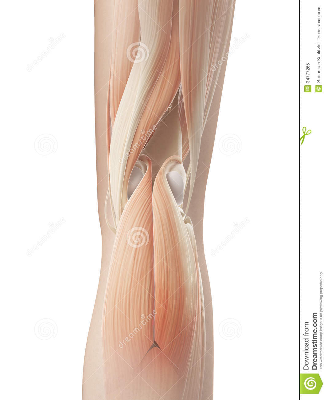 Knee Joint Muscular Anatomy Stock Illustration Illustration Of