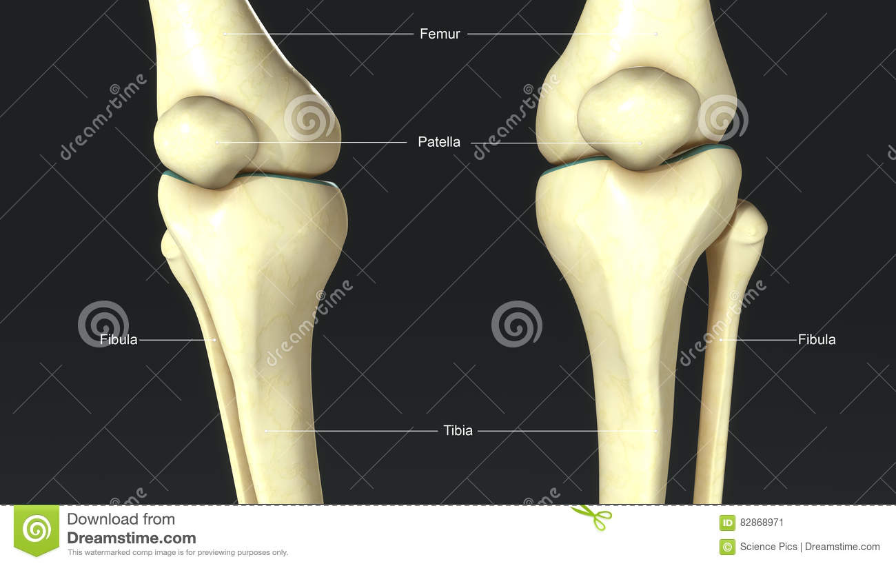 Knee Joints Front View Stock Illustration Illustration Of Patella