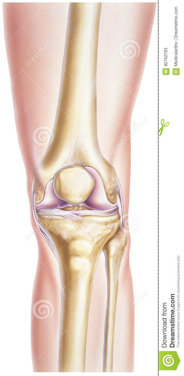Knee Showing Bones And Joints Stock Image Image Of Front