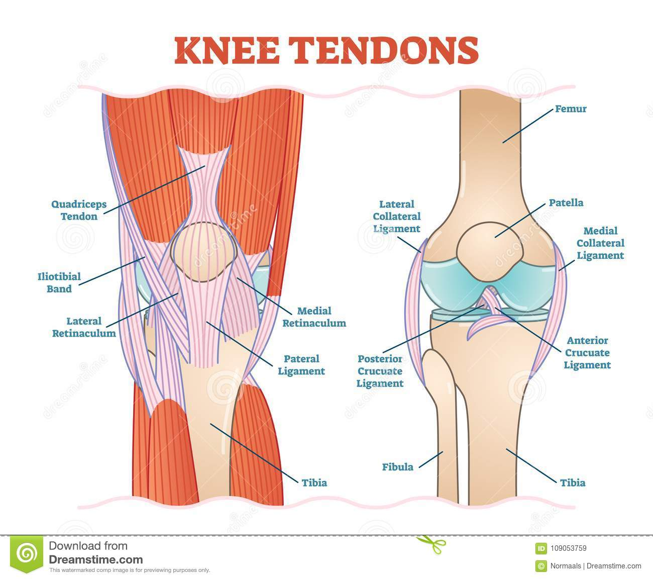 Knee Tendons Medical Vector Illustration Scheme Anatomical Diagram