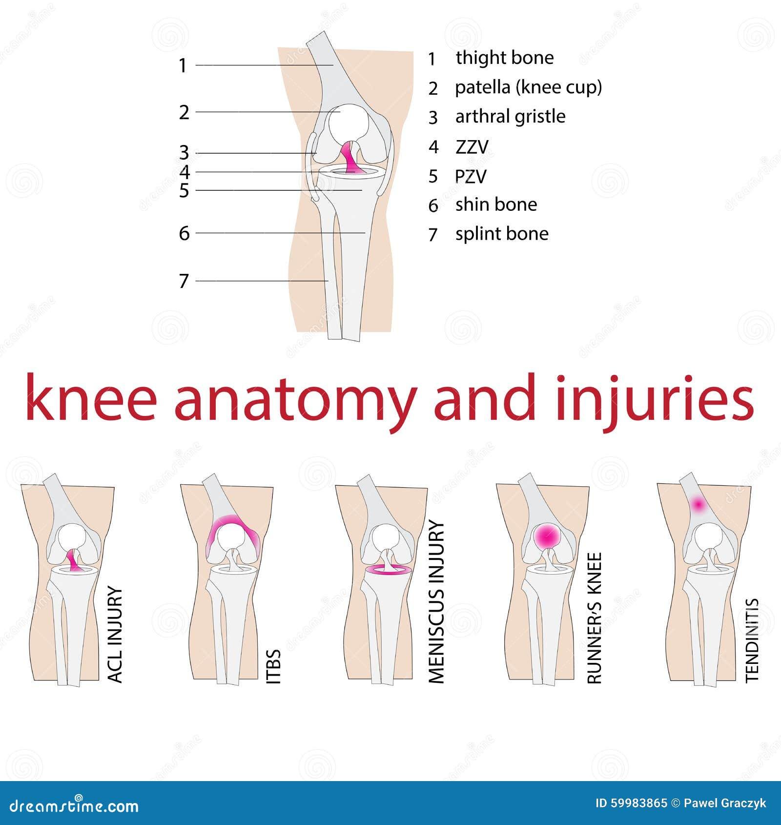 Knie-Anatomie vektor abbildung. Illustration von meniskus - 59983865