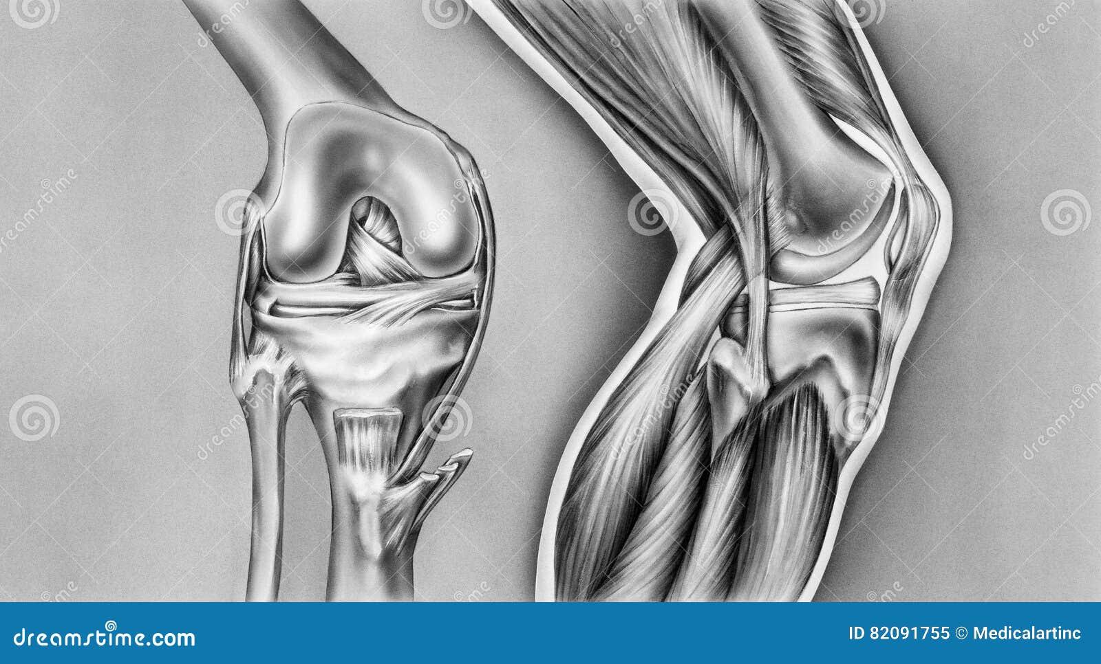 Knie - Knochen, Ligamente U. Muskeln Stock Abbildung - Illustration ...
