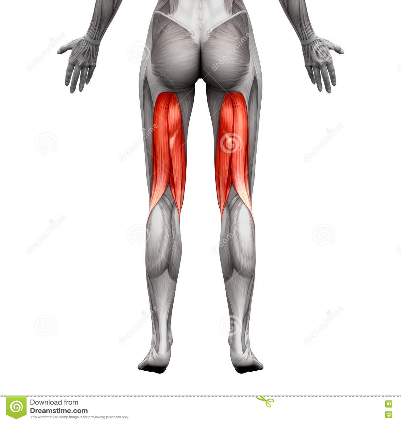 Atemberaubend Muskulatur Anatomie Diagramm Galerie - Physiologie Von ...