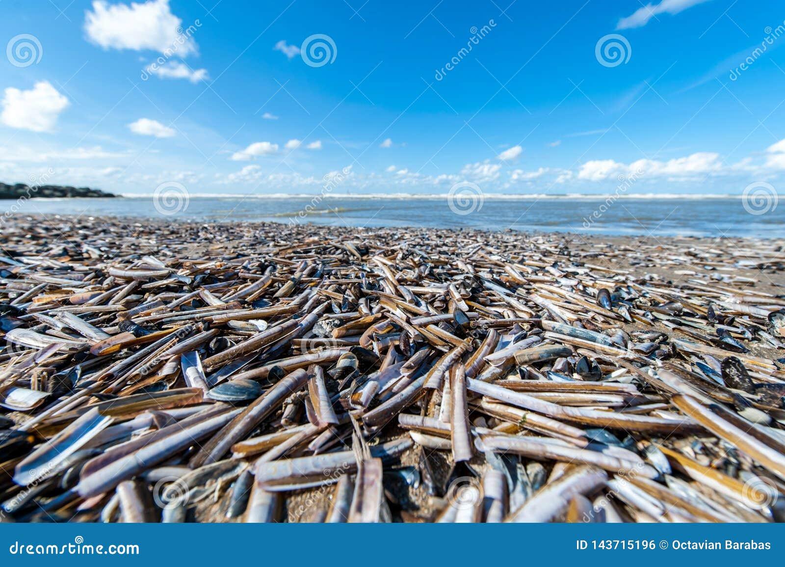Knife scabbard seashell on a beach