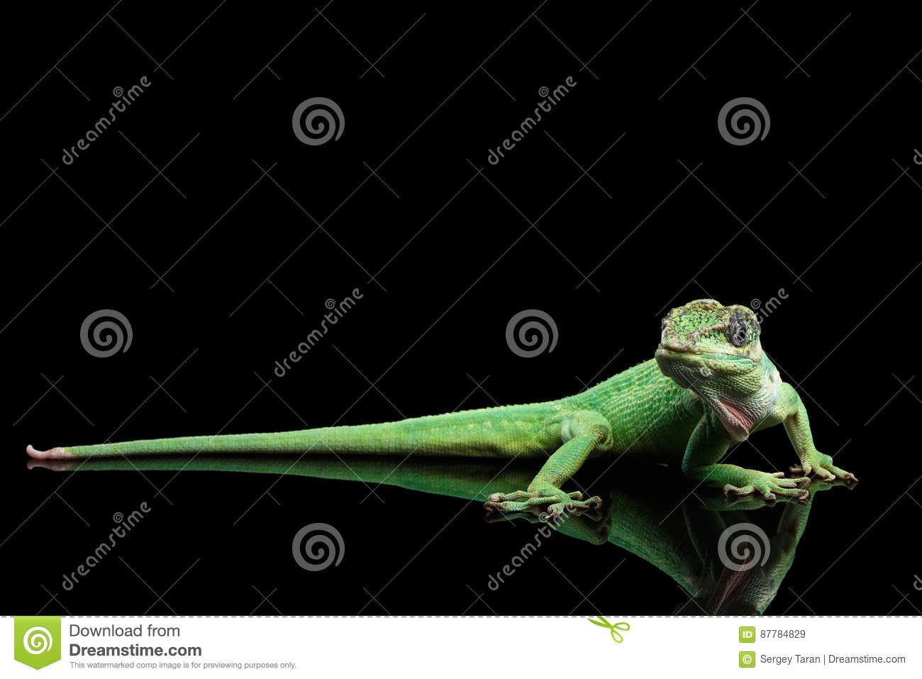 Knight anole lizard on Isolated Black Background