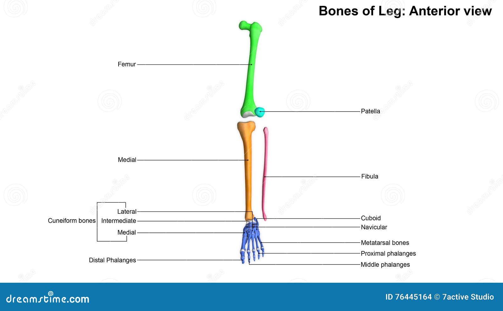 Knochen Der Bein-Vorderansicht Stockfoto - Bild von knochen, füße ...