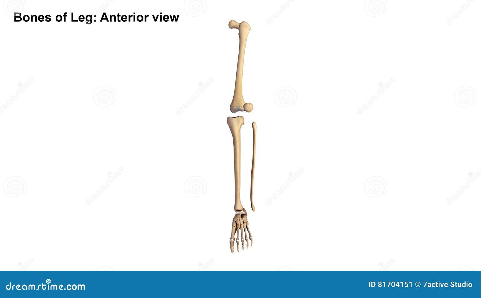 Knochen Der Bein-Vorderansicht Stockbild - Bild von fahrwerkbein ...