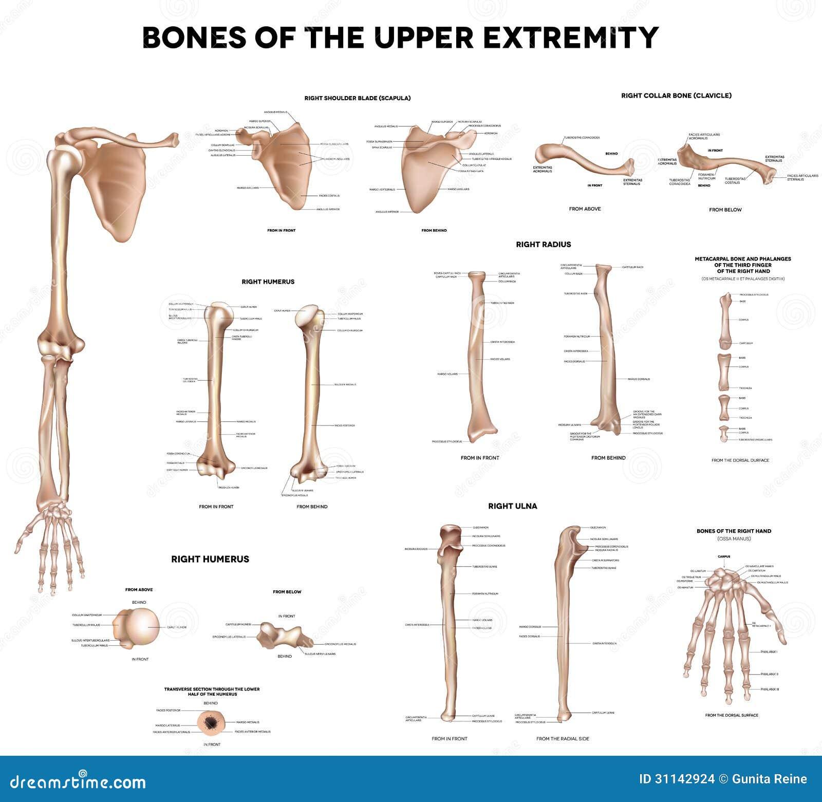 Knochen Der Oberen Extremität Vektor Abbildung - Illustration von ...