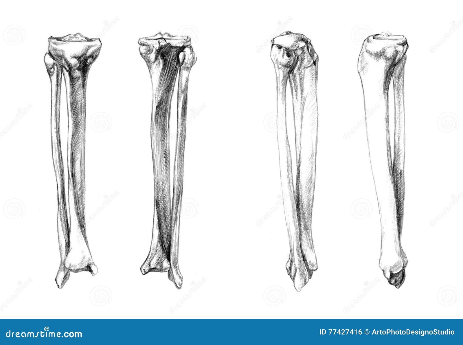 Beste Knochen Anatomie Des Beines Zeitgenössisch - Physiologie Von ...