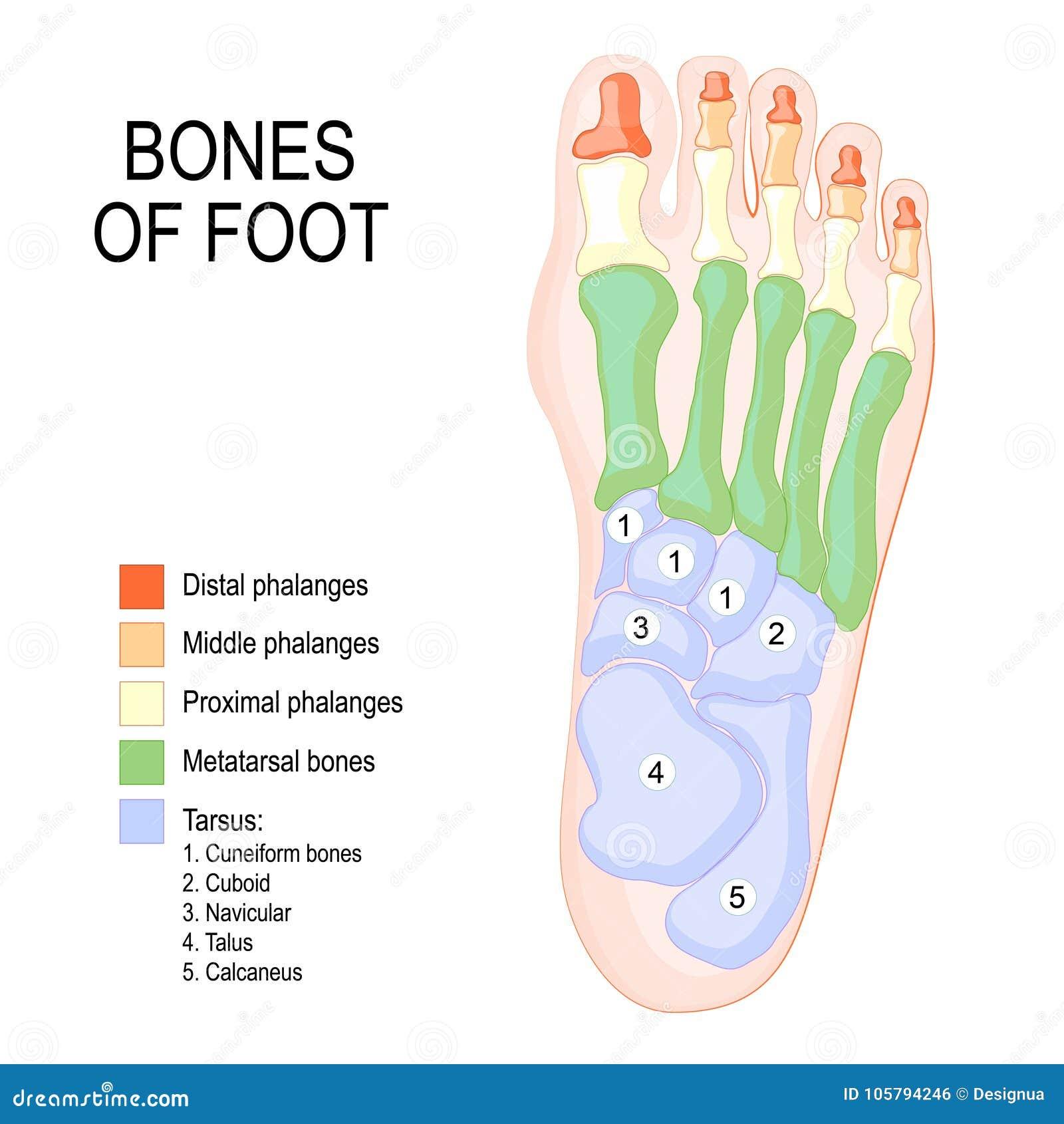 Knochen des Fußes vektor abbildung. Illustration von keilförmig ...