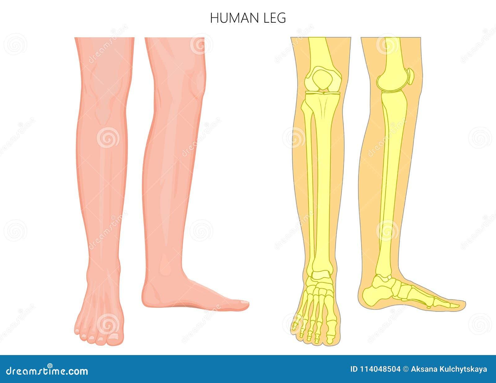 Knochen Fracture_Human Beinanatomie Und -skelett Vektor Abbildung ...