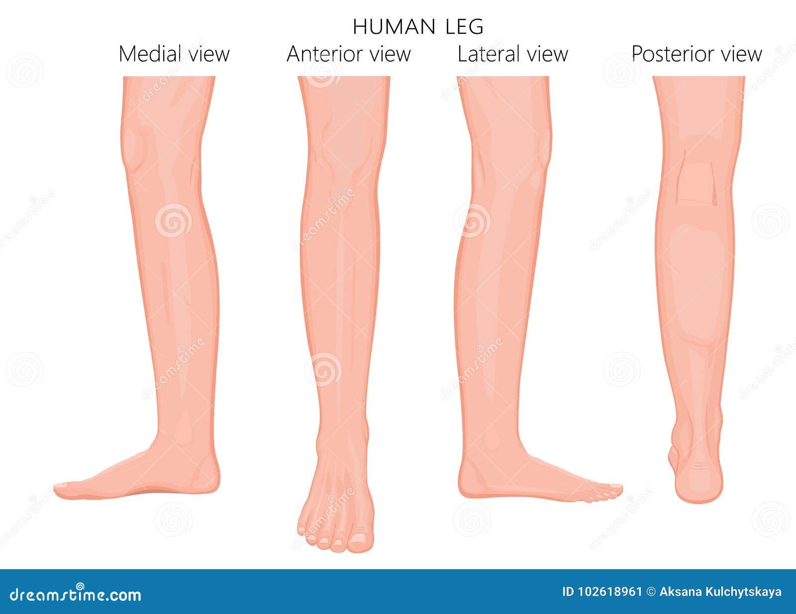 Knochen Fracture_Leg Anatomie Europäer Vektor Abbildung ...