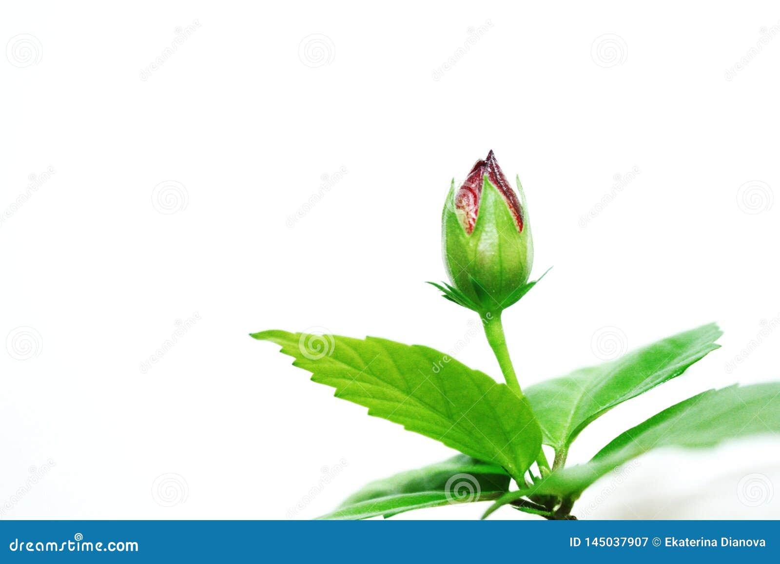 Knop van roze bloem op de witte achtergrond