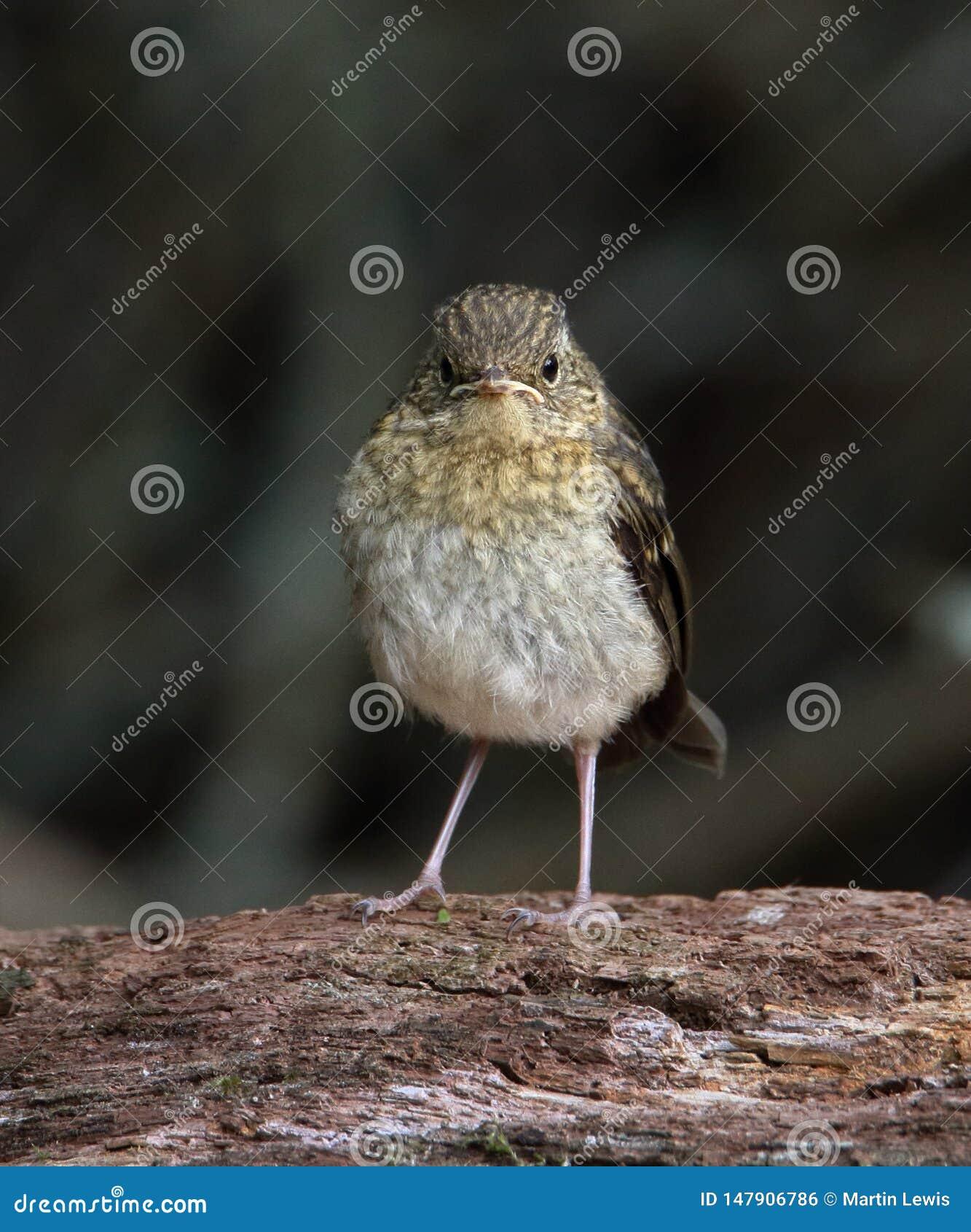 Knorrig Robin Chick