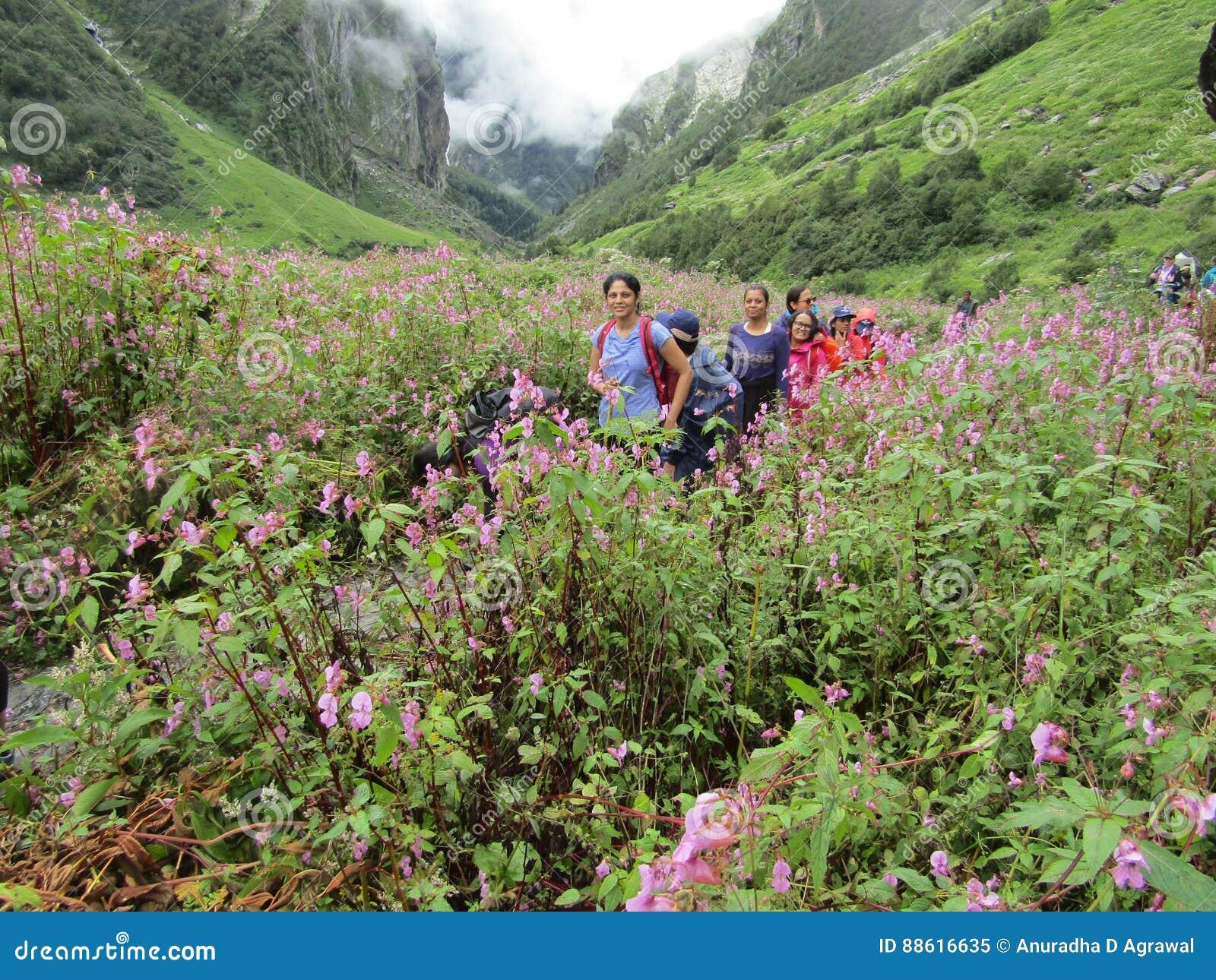 Knotweed himalayano in valle dei fiori