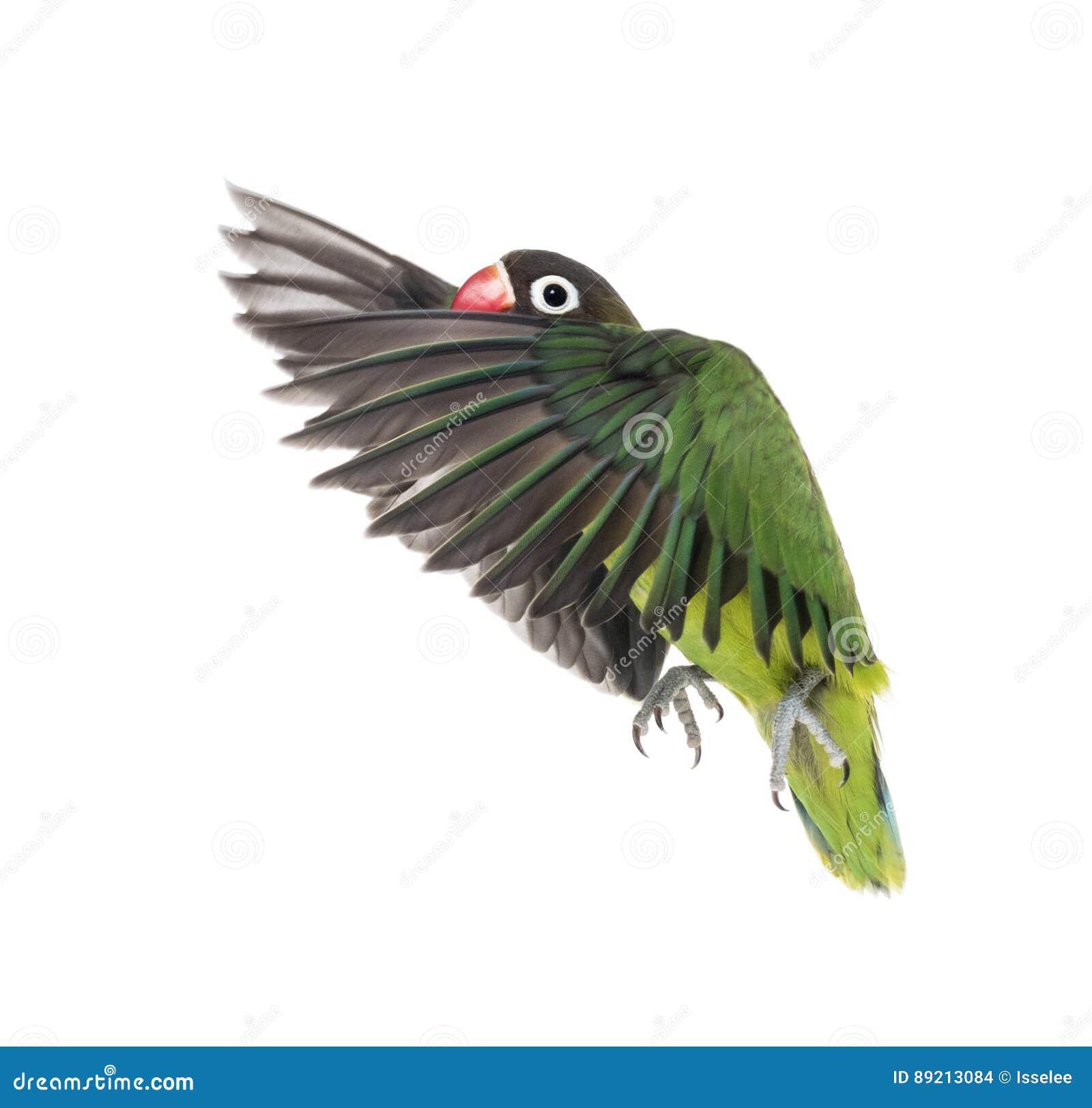 Kołnierzasty lovebird latanie, odizolowywający