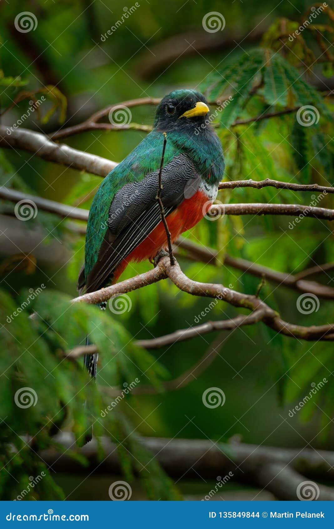 Kołnierzasty Trogon - Trogon collaris zbliżają wróblowatego ptaka w trogon rodzinie, Trogonidae, ciepłe części Neotropics, Kolumb