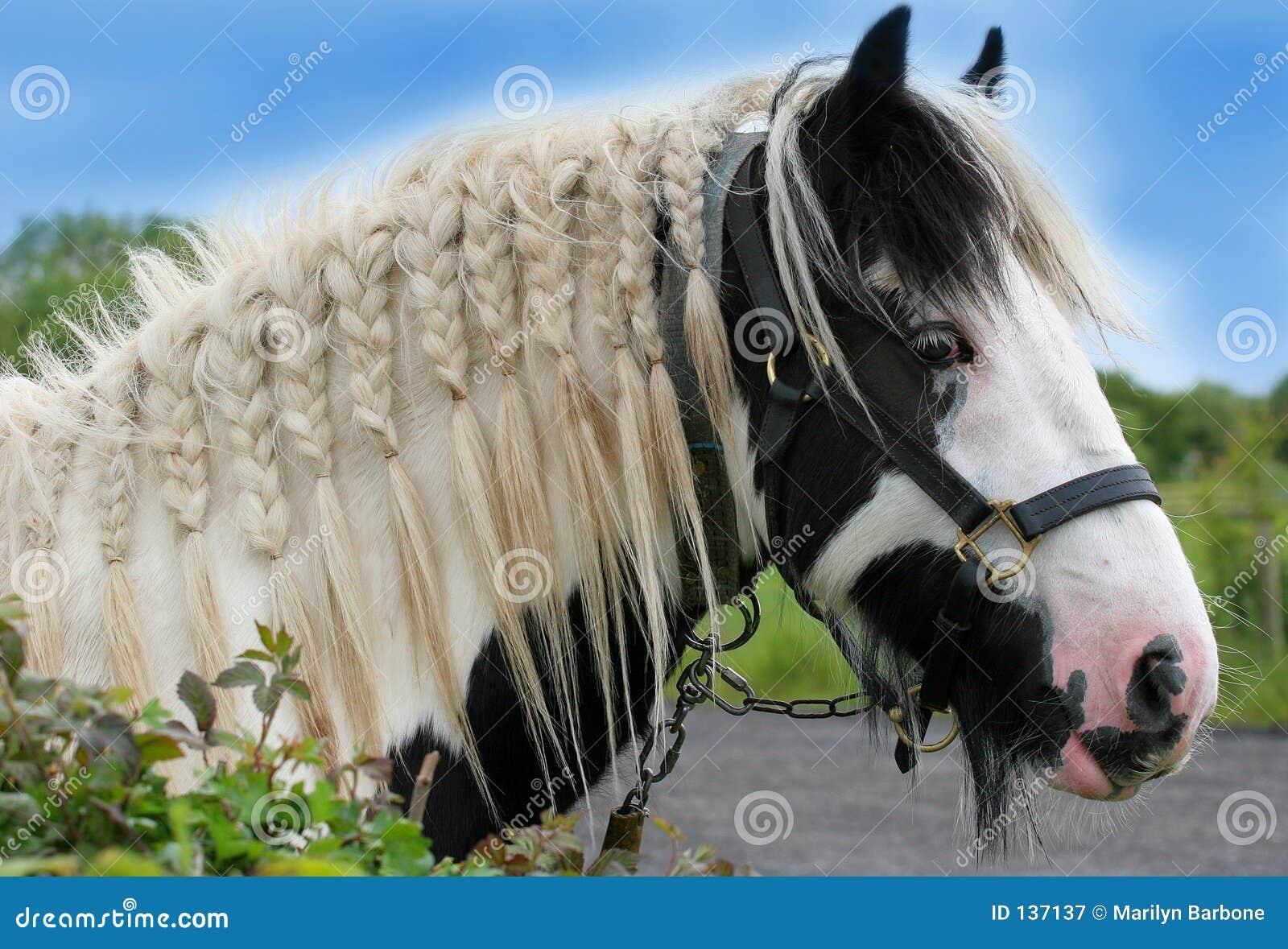 Koń cyganów