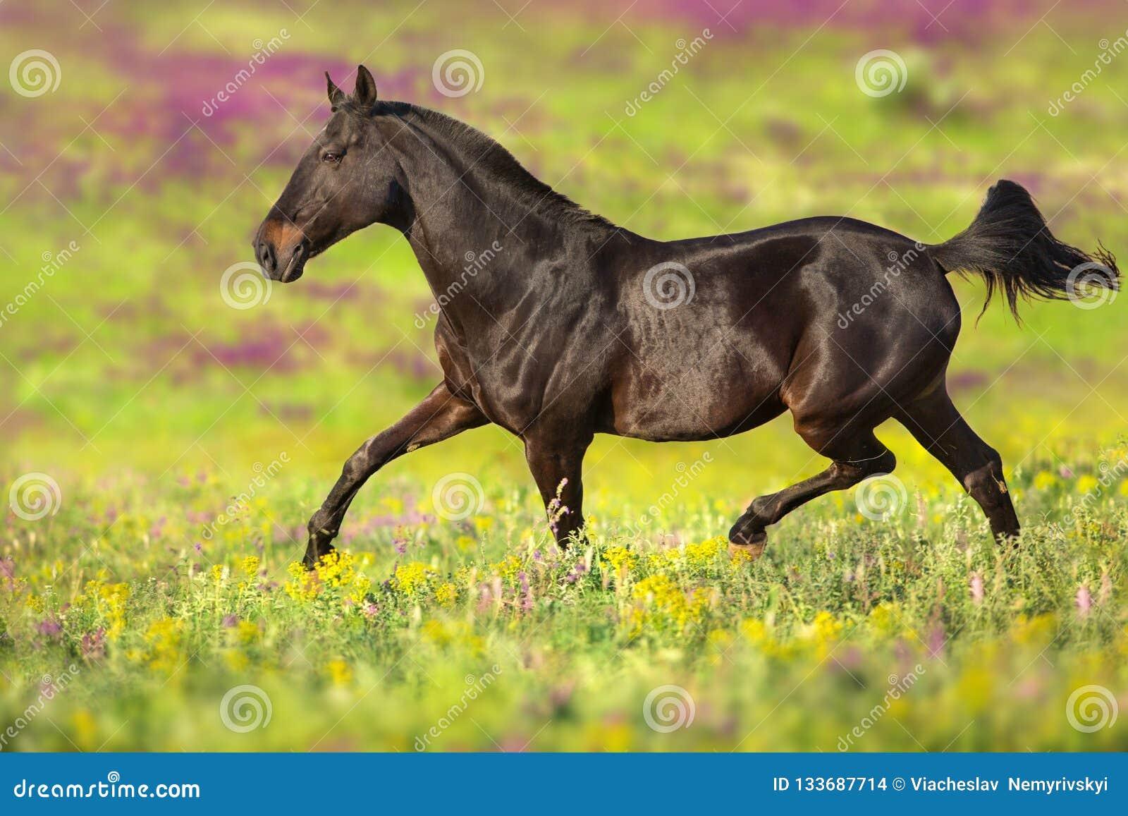 Koń kłusuje na kwiatu polu