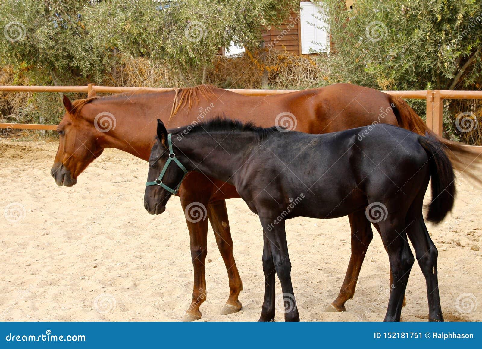 Koń matka i jej młody źrebię
