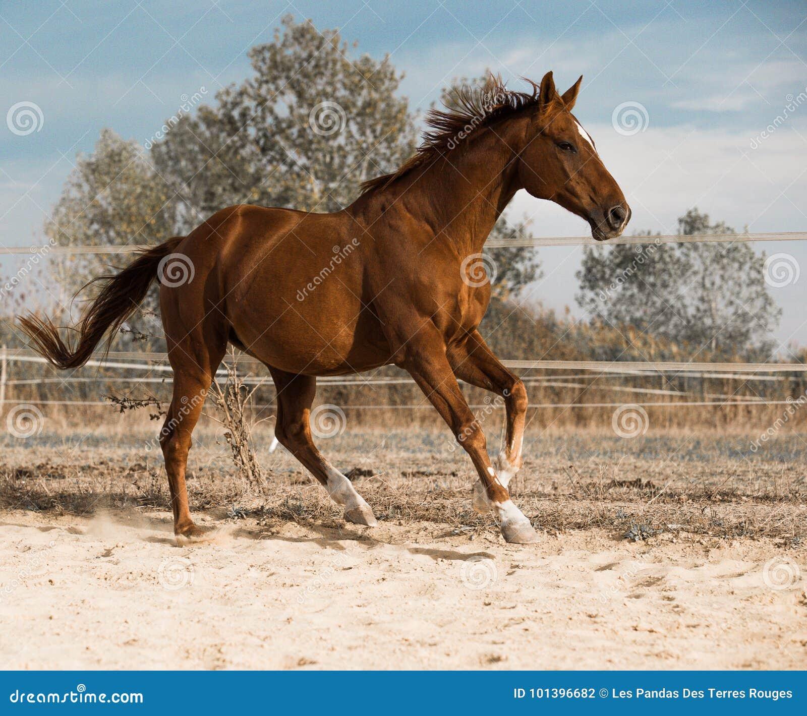 Koń na naturze Portret koński, brown koń,