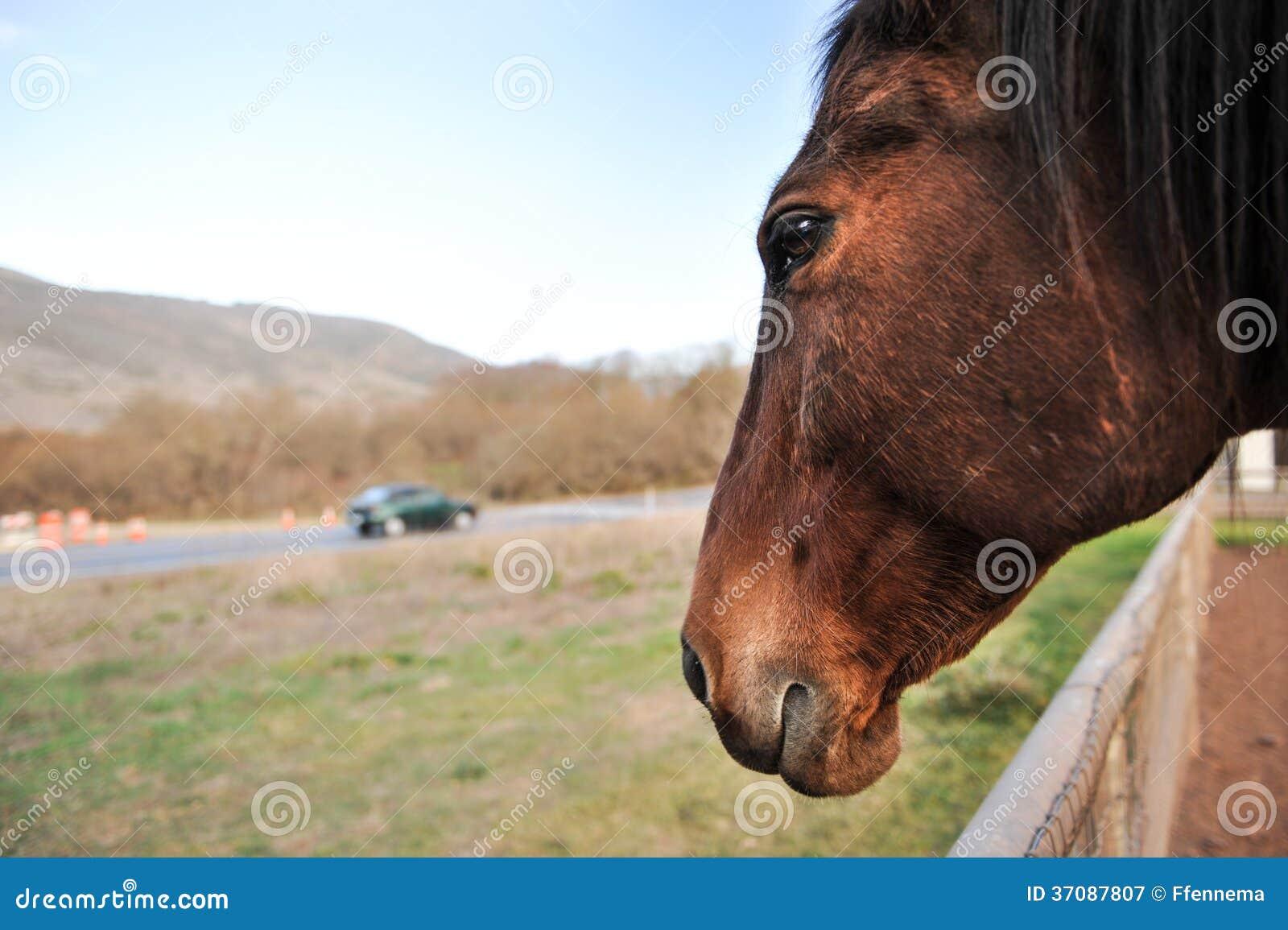 Download Koń Ogląda Samochód Iść Obok Na Drodze Obraz Stock - Obraz złożonej z zwierzę, fielder: 37087807