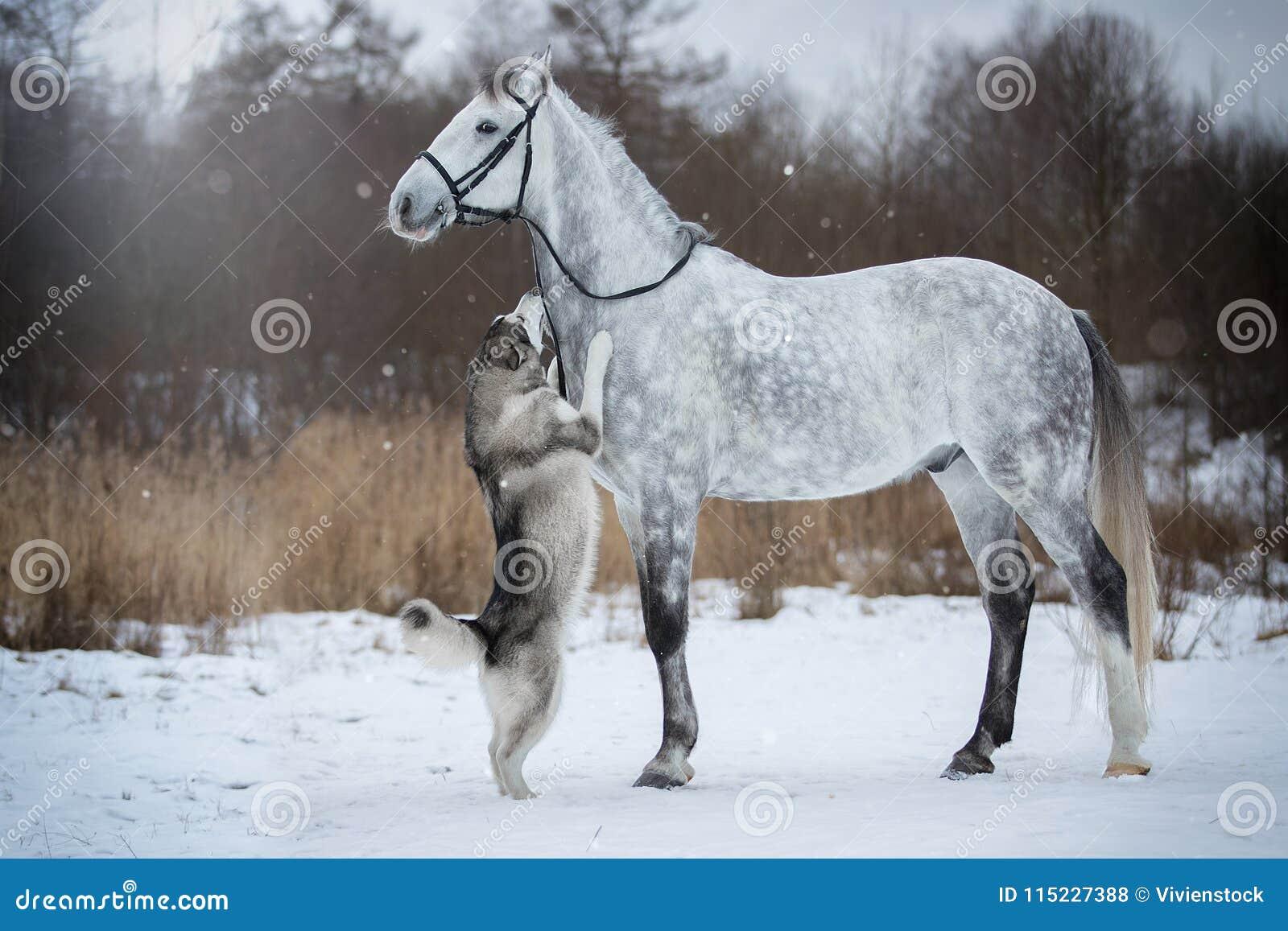 Koń prowadzi psa uzdą Orlovskiy kłusak i Alaski