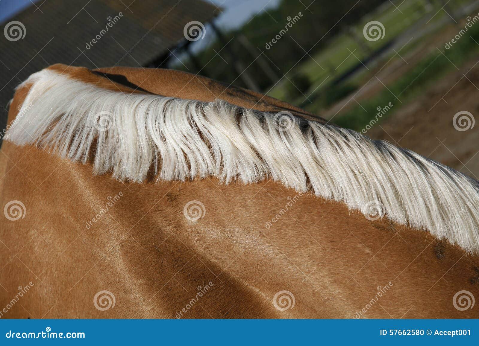 Koń szyja z pięknej białej grzywy ziemi uprawnej wiejską sceną
