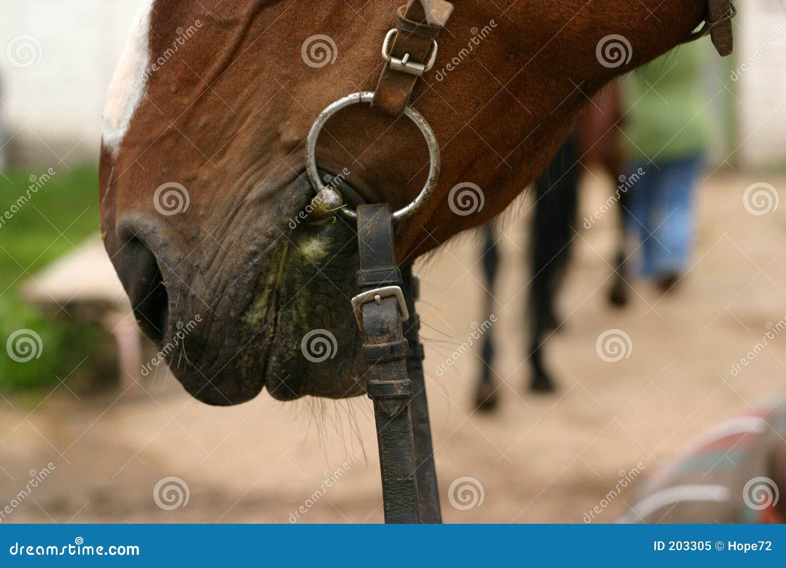 Koń usta s