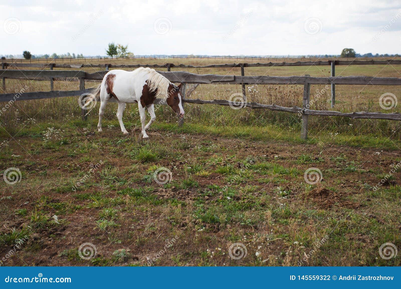 Koń z swój głową obniżającą chodzi wzdłuż corral