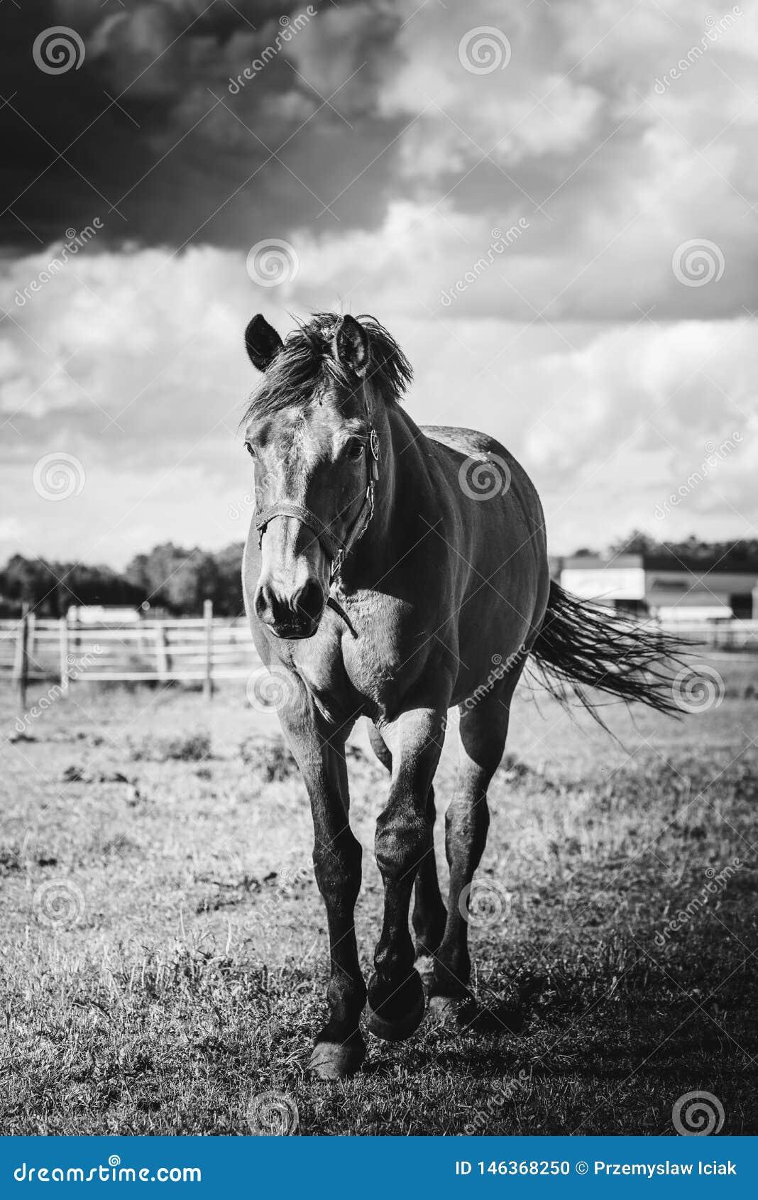 Końska pozycja na łące, na gospodarstwie rolnym w słonecznym dniu czarny white