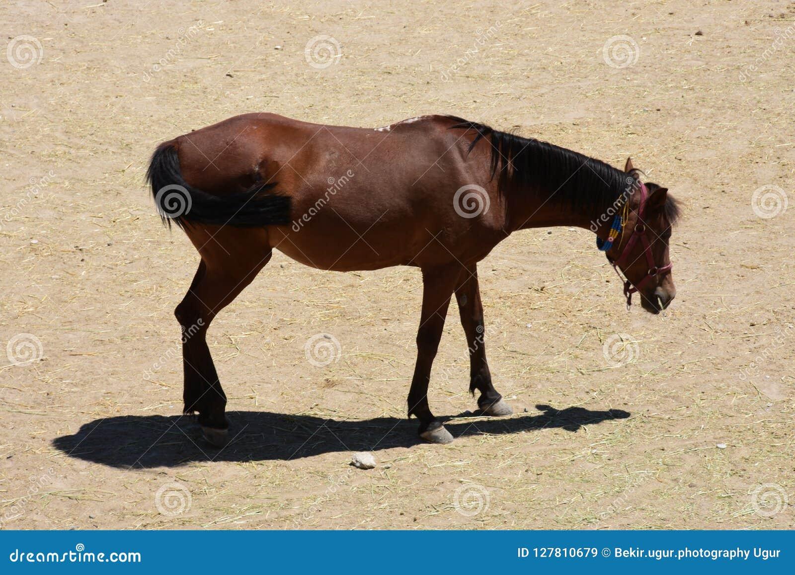 Koński stado bieg Cwał, przedni