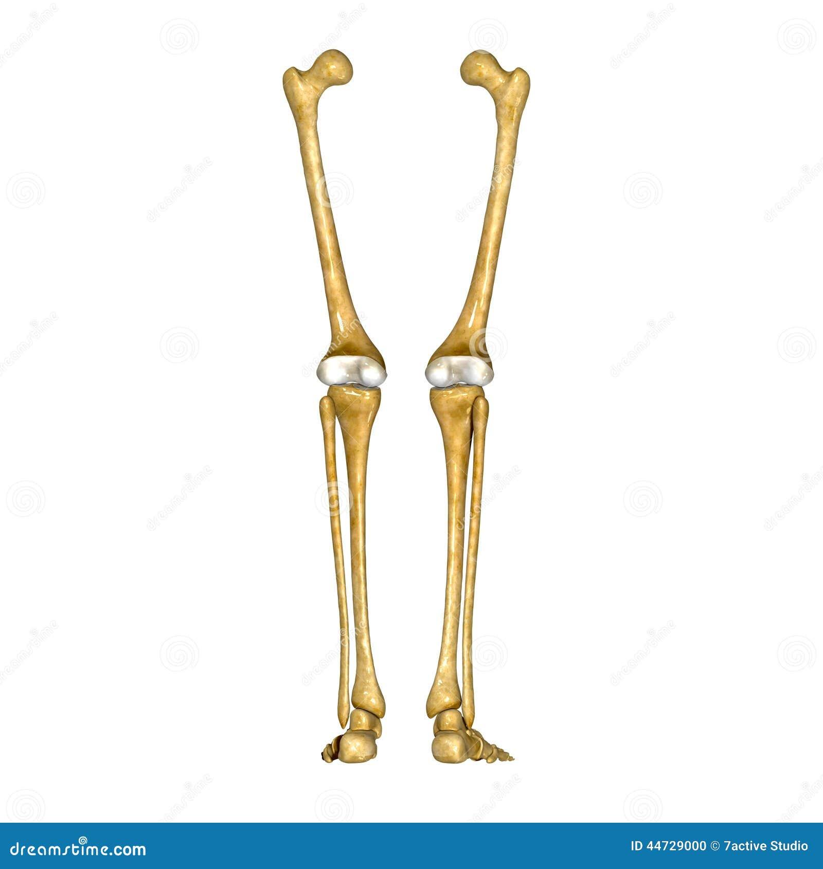 Kości noga i stopa