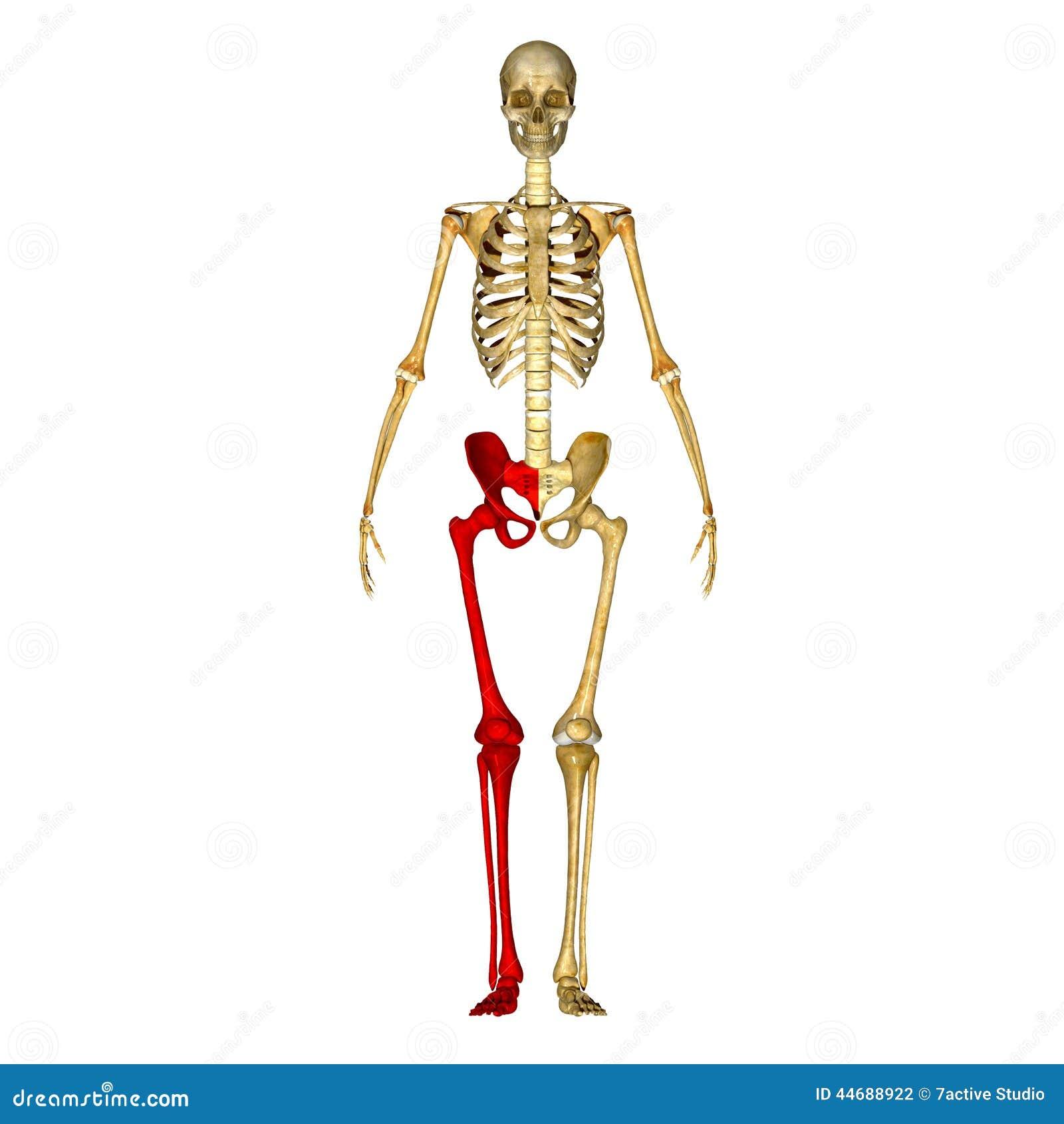 Kościec: Nóg kości