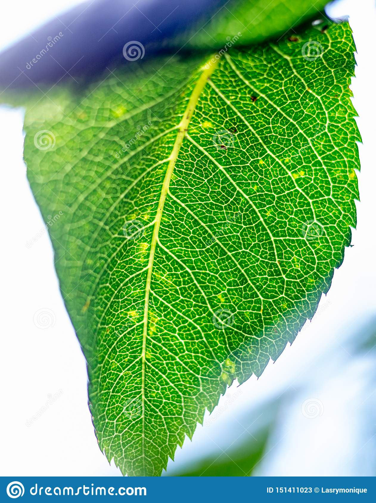 Kościec zielony liść