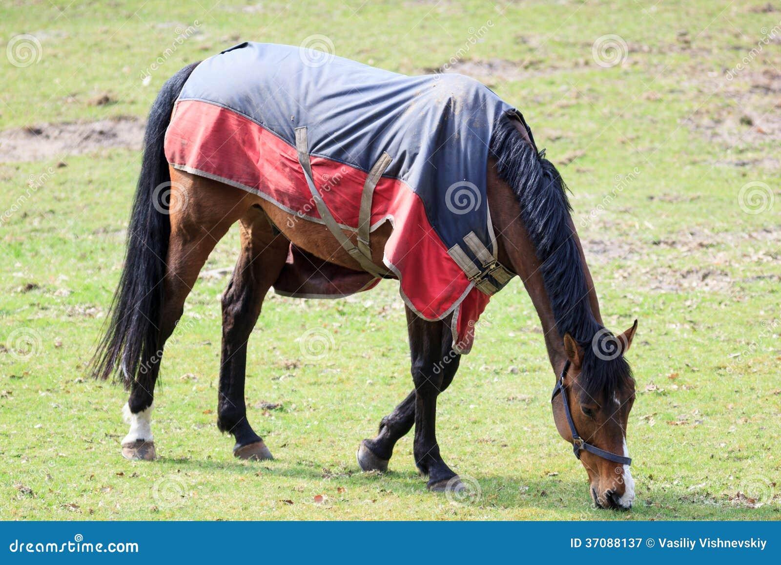 Download Koń. obraz stock. Obraz złożonej z kasztan, domowy, łasowanie - 37088137