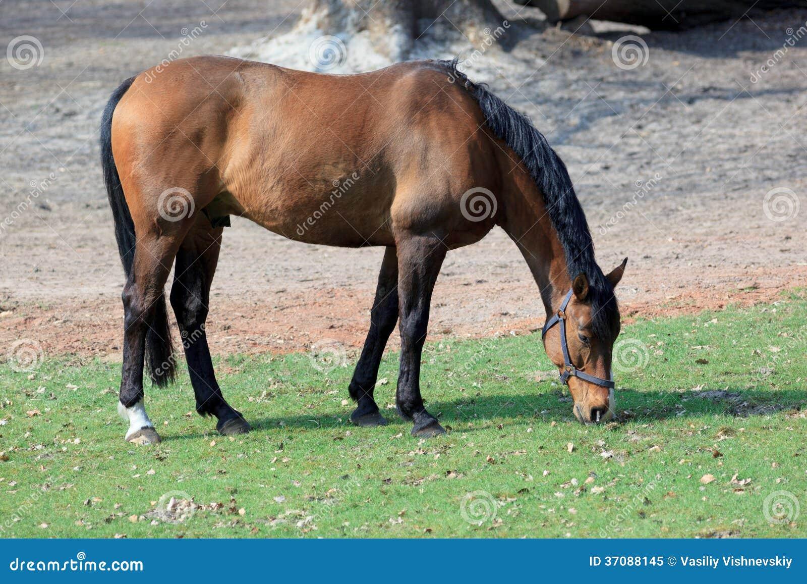 Download Koń. obraz stock. Obraz złożonej z domowy, koń, zwierzę - 37088145