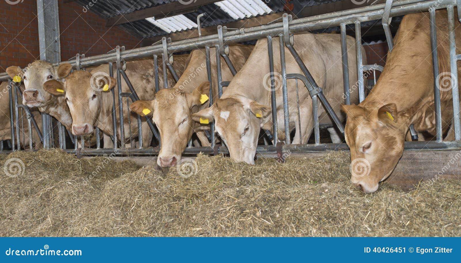 Ko i ett stall