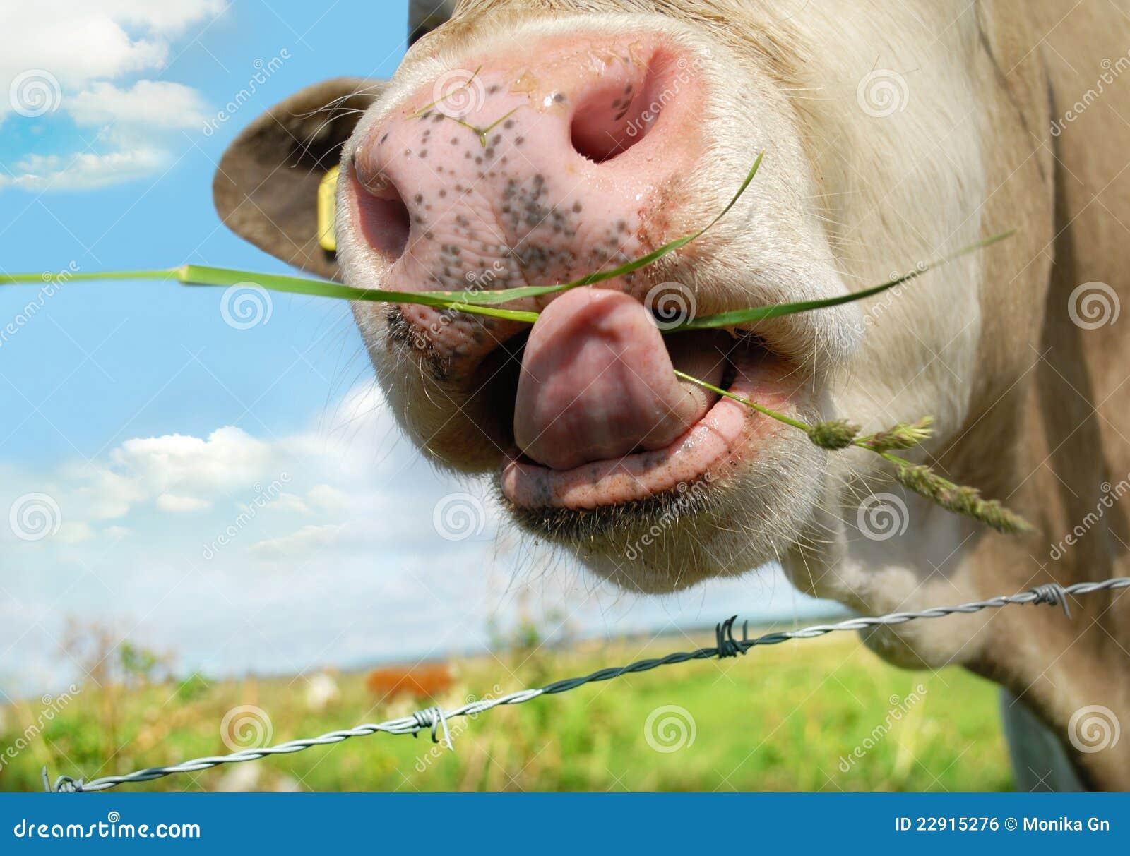 Ko som äter gräs