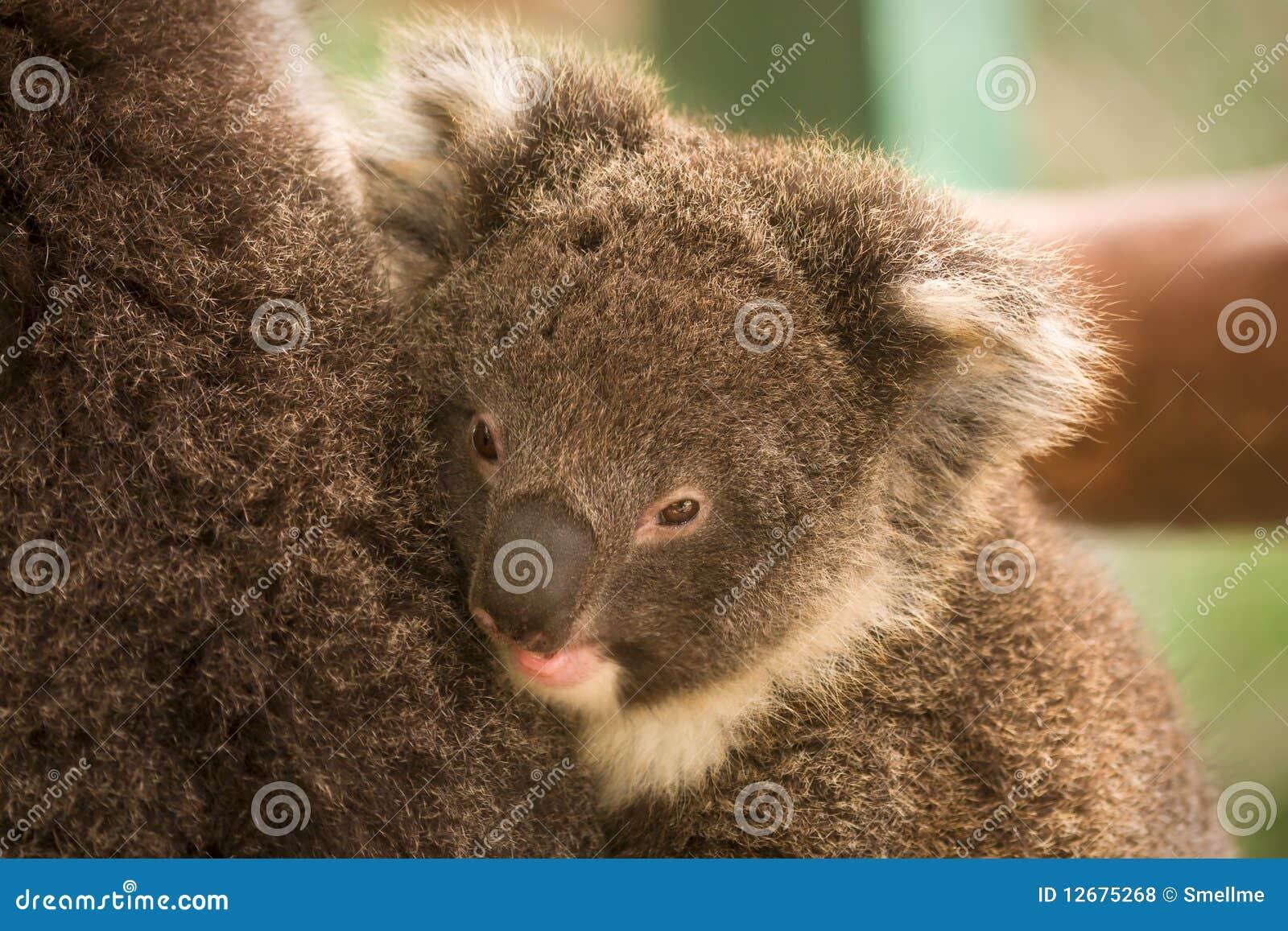 Koala baby