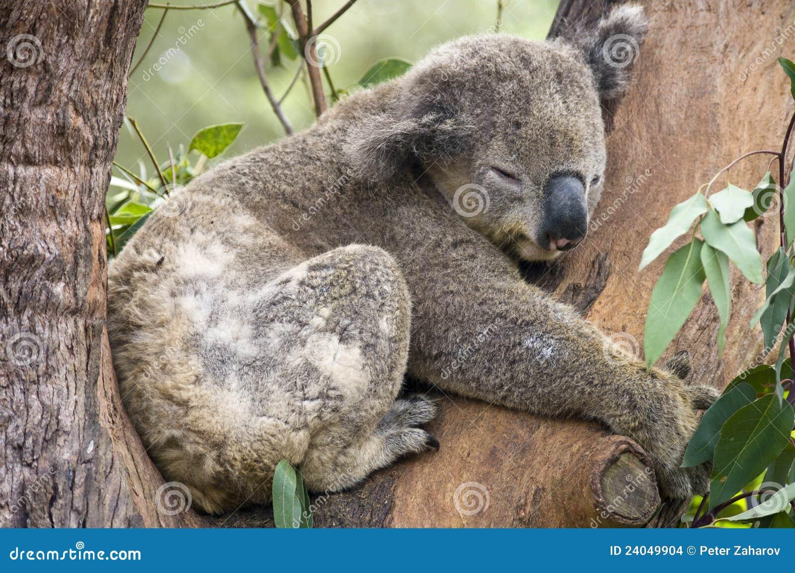 Koala Bea, Sydney, Austrália.