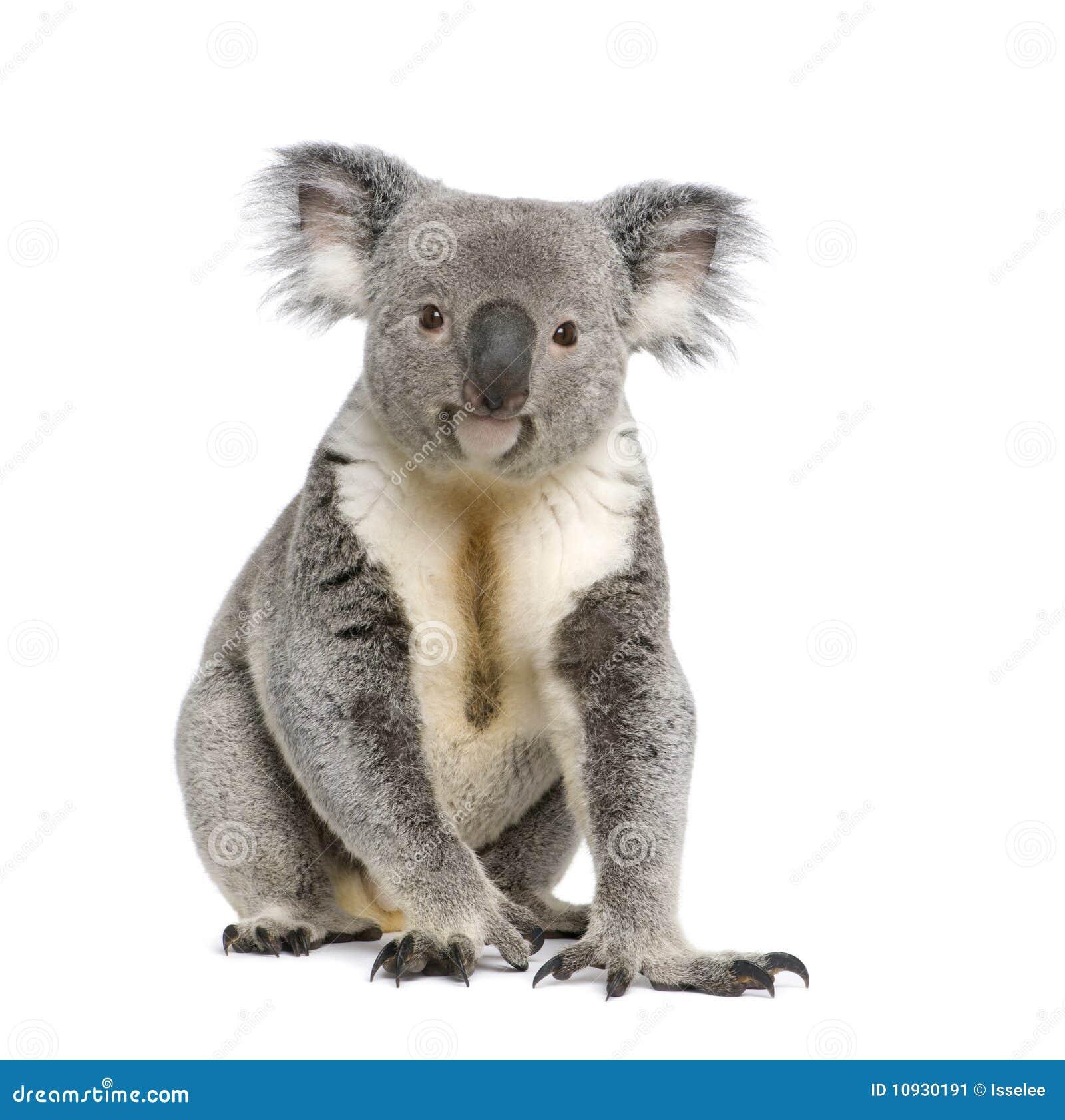 Koala bear againts white background
