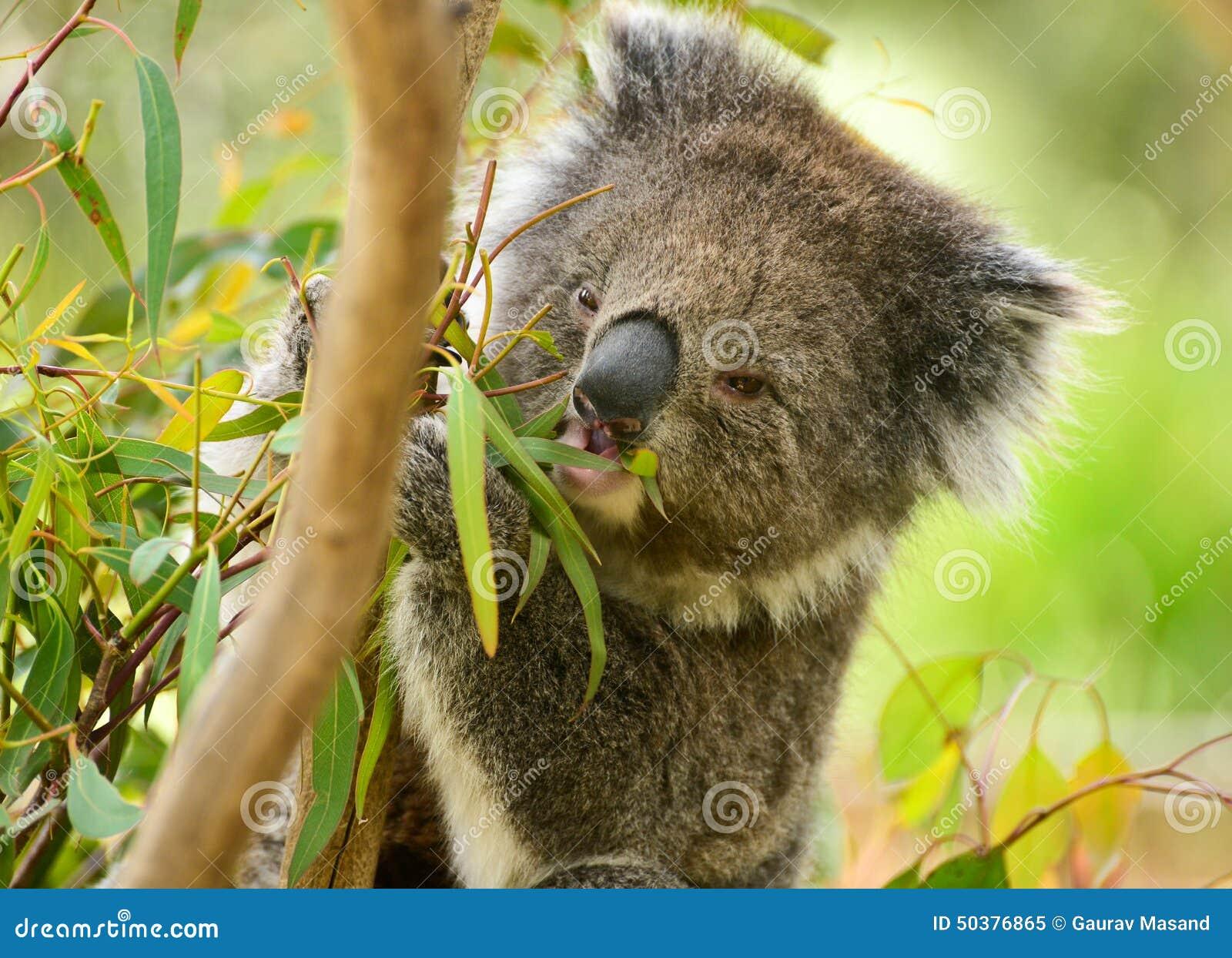 Koala bear eating leaves in melbourne