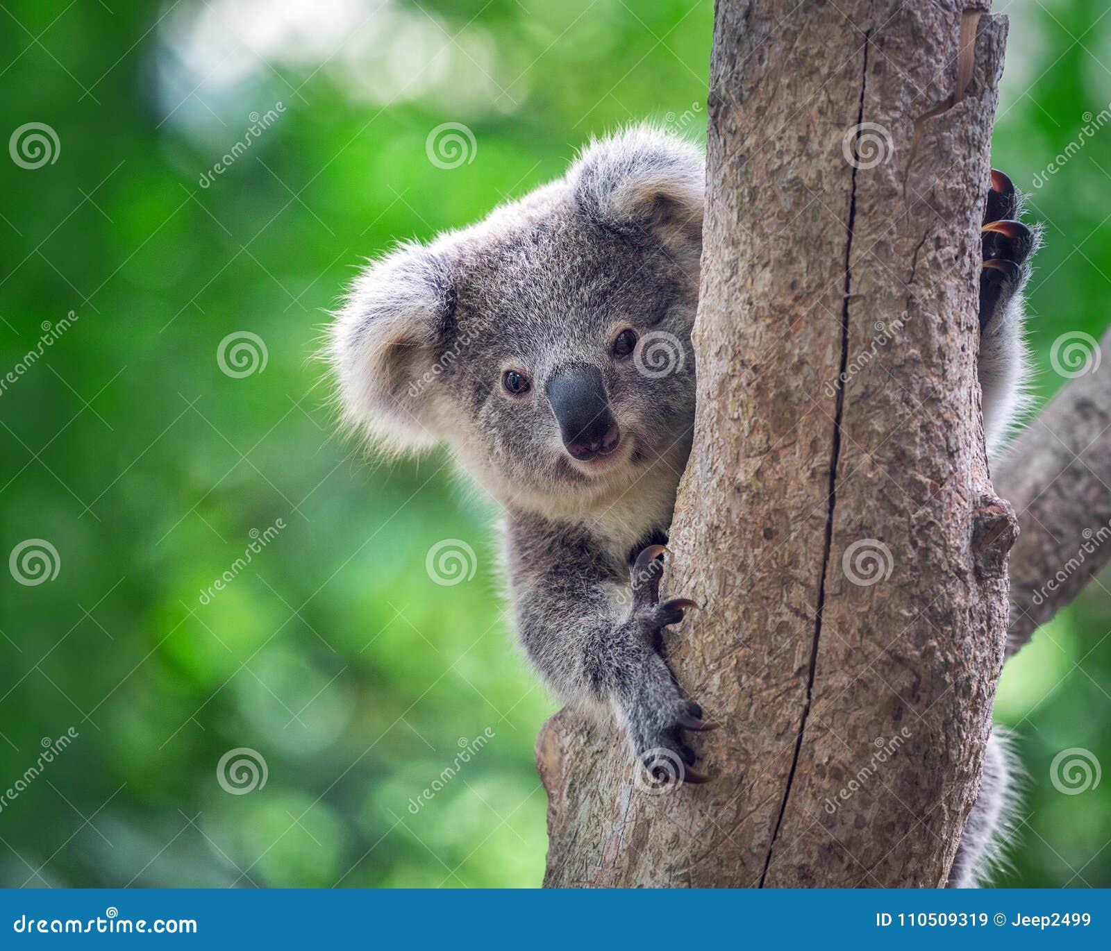 Koala bear in forest zoo.