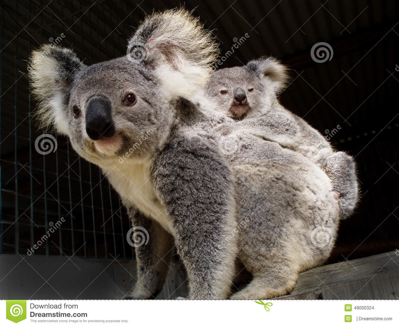 Koala bear and baby joey